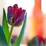 Tulp | Gerdy van der Graaf